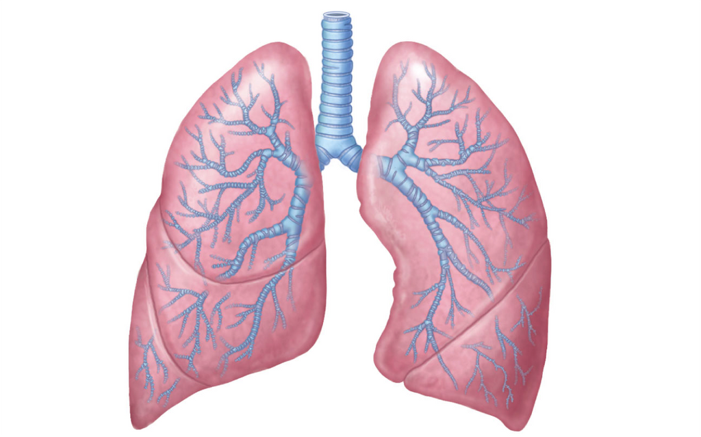 Lungs and Bronchial Passages