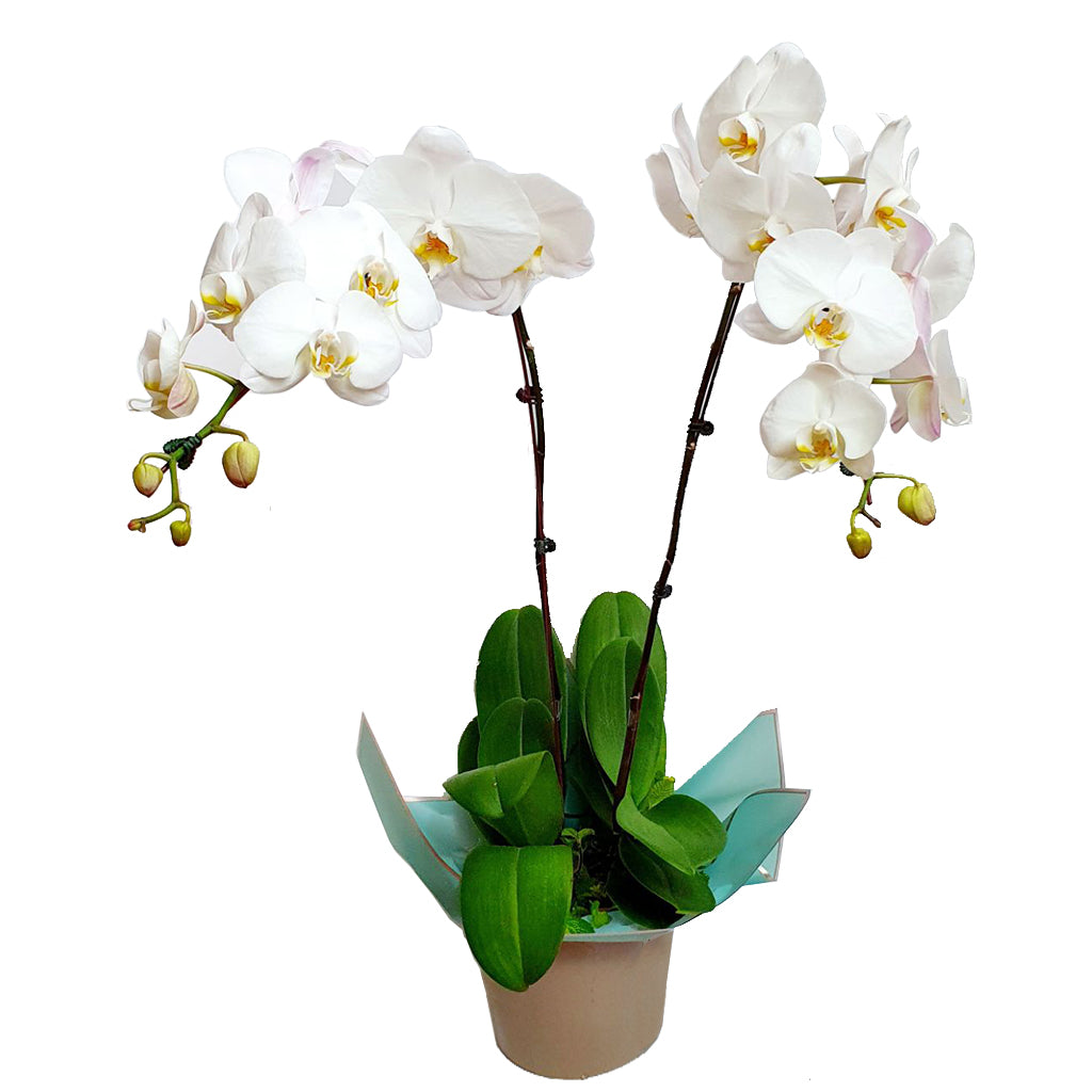 Potted Phalaenopsis Orchids Duo