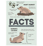 Facts About Hoary Marmots Lantern Press Postcards