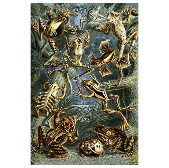 Marine Life Illustration - Frogs - Lantern Press Postcard
