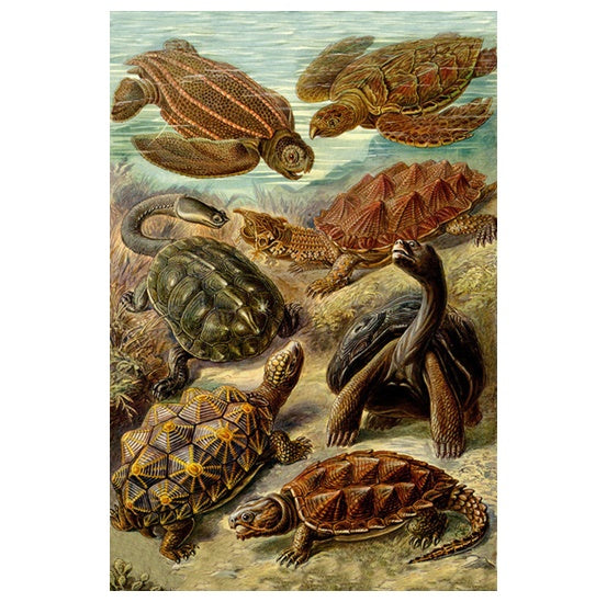 Marine Life Illustration - Turtles - Lantern Press Postcard