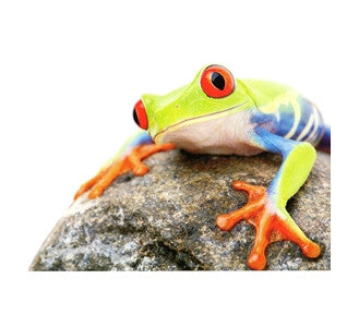 Tree Frog on a Rock