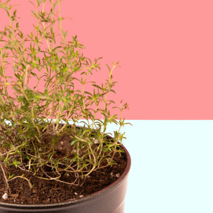 Closeup of thyme herb -- you could be growing this!