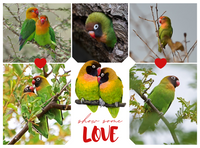 Show Some Love to Lovebirds! - World Parrot Trust
