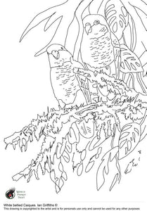 Free colouring page - White bellied Caique - World Parrot Trust