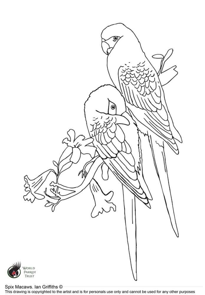 Free colouring page - Spix's Macaw - World Parrot Trust