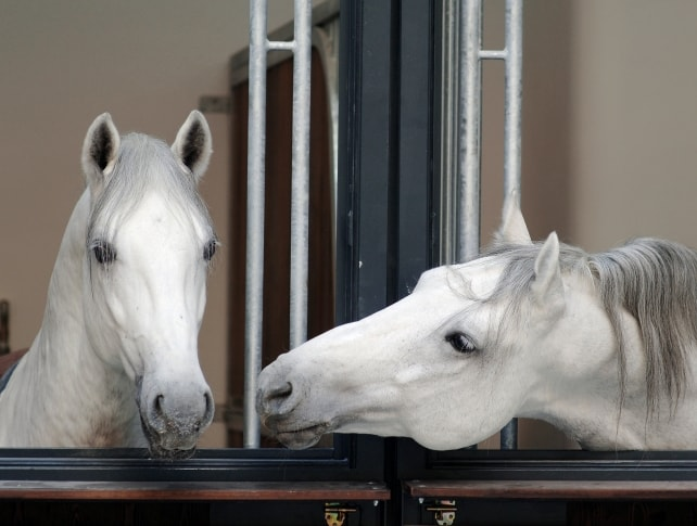 Lipizzaner Stallions, Piber stud, morning routine, Spanish riding School