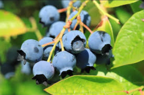 Fresh Picked Blueberries of Daviess County
