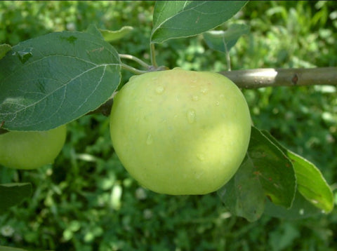 June apples