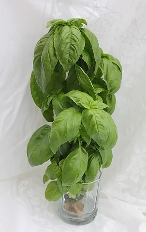 Sweet basil - bunch