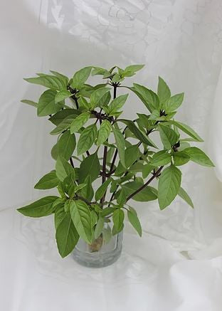 Thai basil - bunch