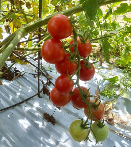 Pink Cherry Tomatoes