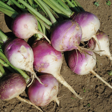 Turnips (bundle of 3)