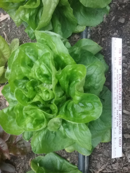 Large Butterhead Lettuce