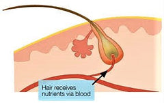nutrients for hair growth . blood supply to hair follicle. hair growth supplements. My Hair Secret