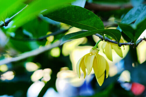Ylang Ylang Oil: The 6 Amazing Benefits