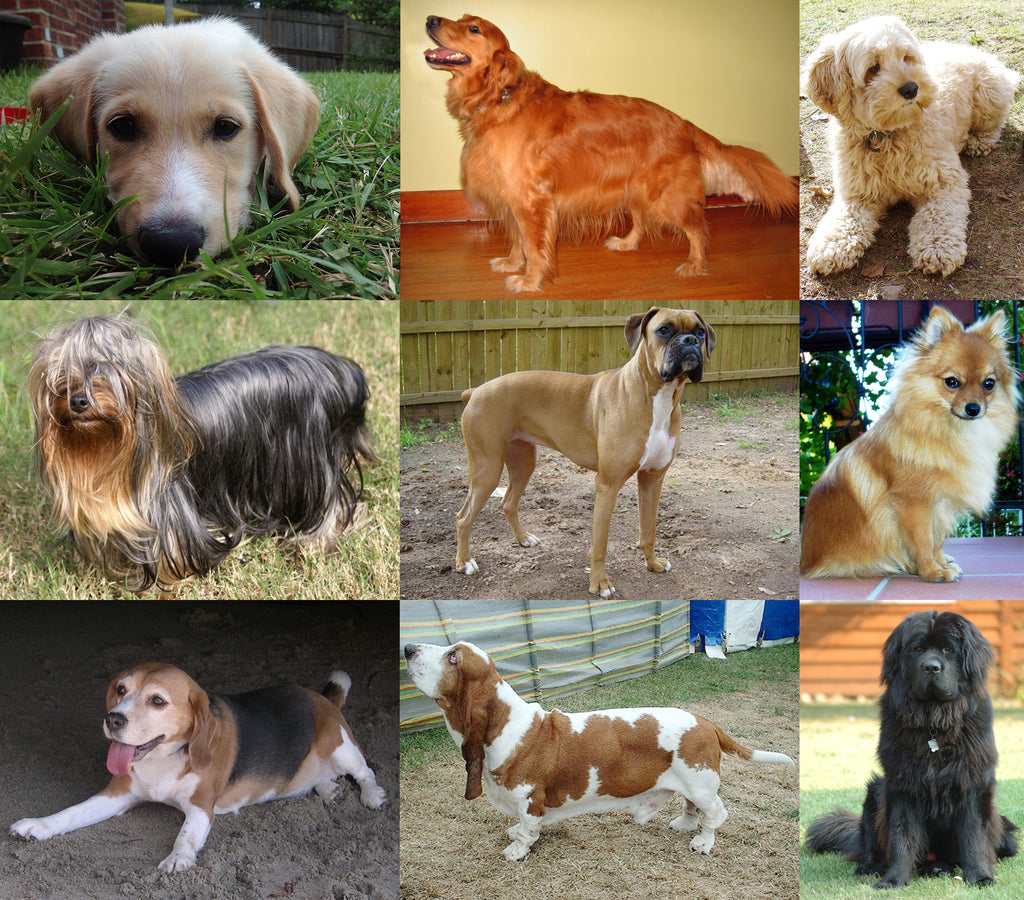 Collage of dogs of different breeds, Labrador, Golden Retriever, Beagle, Yorkie, Poodle Mix, Shiba Inu, Basset Hound, Boxer, Greay Pyranees