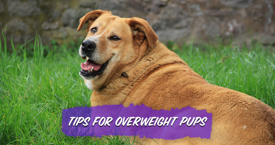 Tips for Overweight Pups