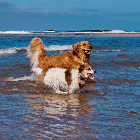 dogs running in waves together at beach