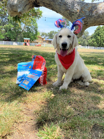 Puppy dressed up for 4th of July