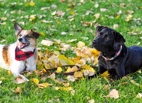 two dogs laying in fall leaves together