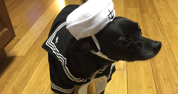 Mr. Po the chihuahua dressed as a sailor