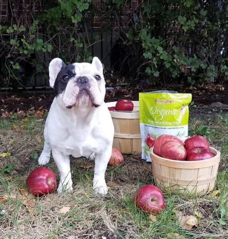 french bulldog with basket of apples