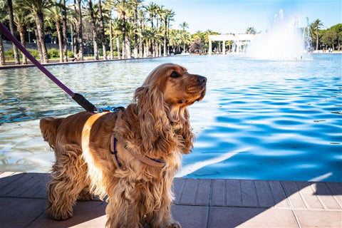 cocker spaniel on walk in front of fountain