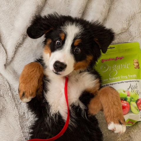 •	Bernese mountain dog puppy laying on blanket next to Grandma Lucy's dog treats
