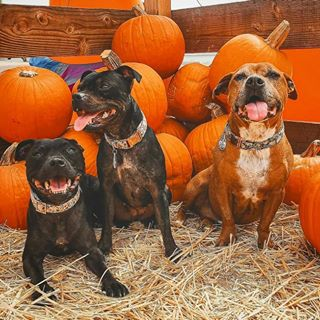 Three dogs at a pumpkin patch