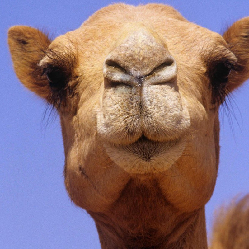 DromeDairy's Fun Camel Facts for Kids!