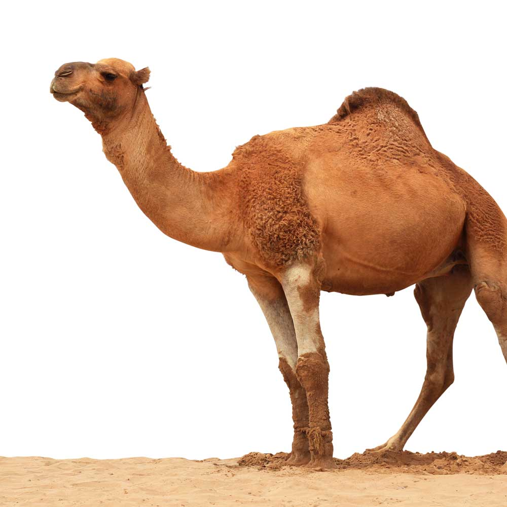 Camel Milk Growing In Popularity in the United States and Around the World