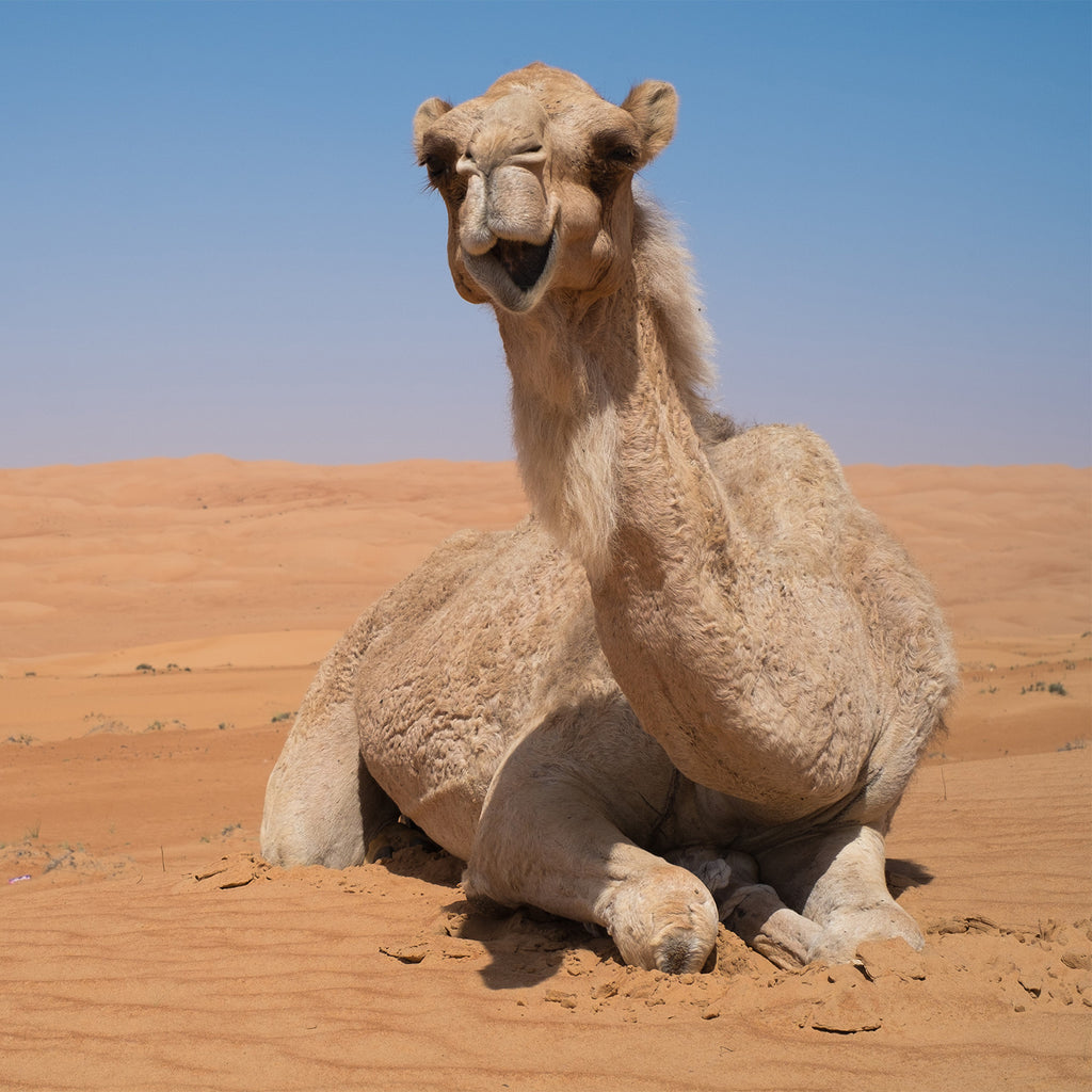 DromeDairy™ Camel Milk Facts: Health