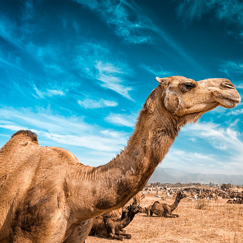 8 Reasons Why You Should Drink Camel Milk