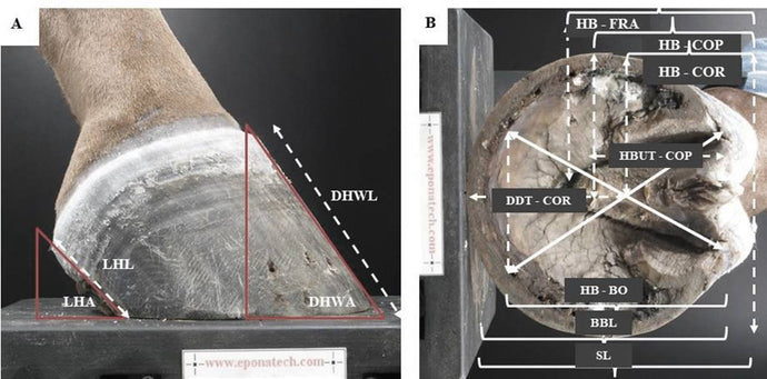 Morphological variations in equine hoof balance metrics and their influence on the mechanical behaviour of the foot and the probability of increased risk factors associated with lameness and pathology