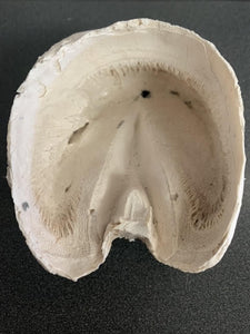 Chris Pollitt Foundered Hoof Capsule with Pathological Pedal Bone