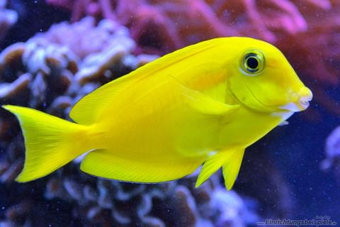 Orange Shoulder Surgeonfish