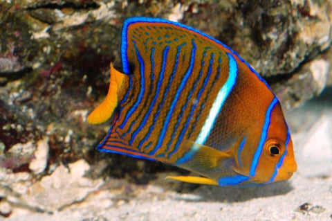 Passer Angelfish
