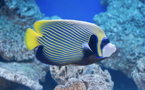 Emperor Angelfish (Adult)