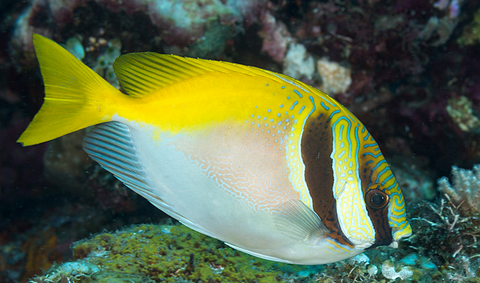 Two Barred Rabbitfish