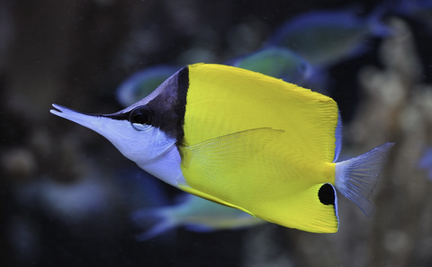 Yellow Longnose Butterflyfish