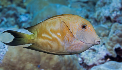 Lined Bristletooth Tang