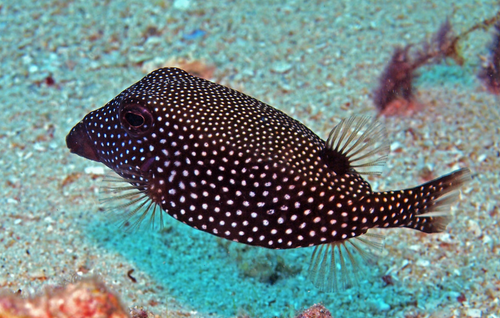 Spotted Boxfish