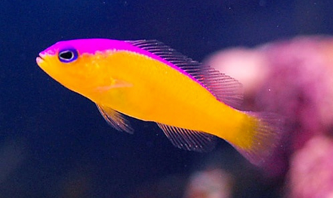 Purple Stripe Dottyback