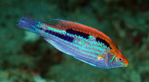 Lubbock's Fairy Wrasse (Northern Species)