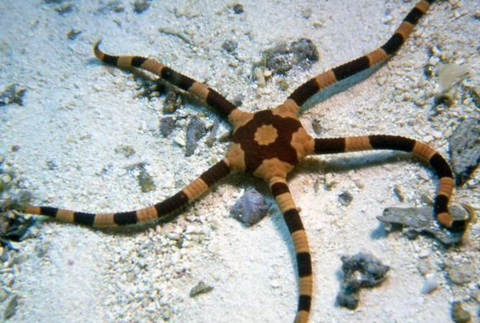 Zebra Brittle Sea Star