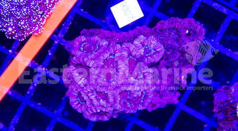 Indo Pacific Acan Lord Coral