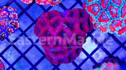 Aussie Acan Lord Coral