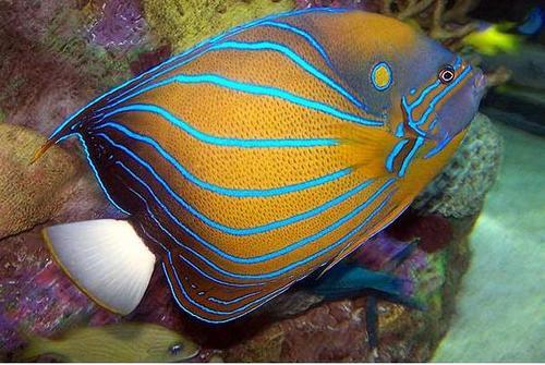 Blue Ring Angelfish - Show Sized