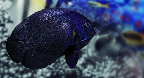 Black Nox Angelfish